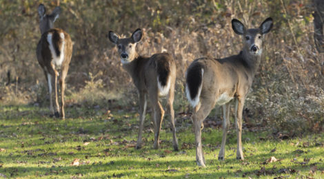 A family of deer roam Salt Fork's 17,000 acres of forest.